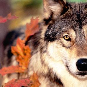 Wolf beschermingssets voor schapenhouders